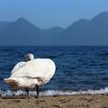 写真: 洞爺湖の白鳥