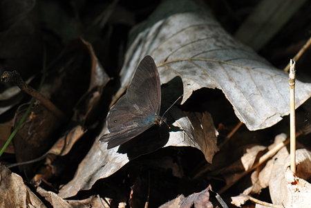 タテハチョウ科 クロヒカゲ