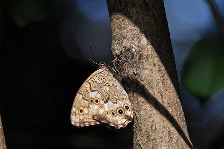 タテハチョウ科 サトキマダラヒカゲ