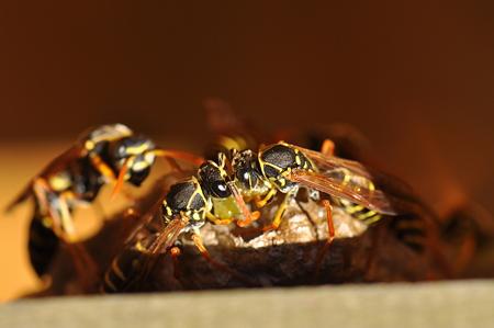 スズメバチ科 フタモンアシナガバチ