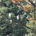 写真: 樹上のダイサギ