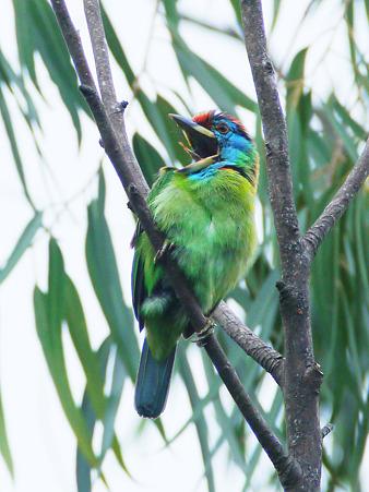 アオノドゴシキドリ(Blue-throated Barbet) P1180926_R