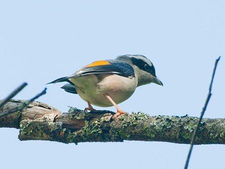 アカバネモズチメドリ(White-browed Shrike-babbler) IMGP122521_R