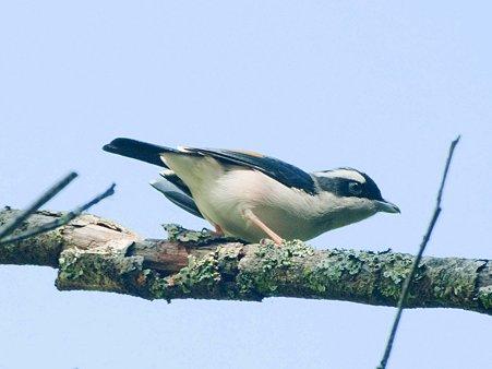 アカバネモズチメドリ(White-browed Shrike-babbler) IMGP122526_R