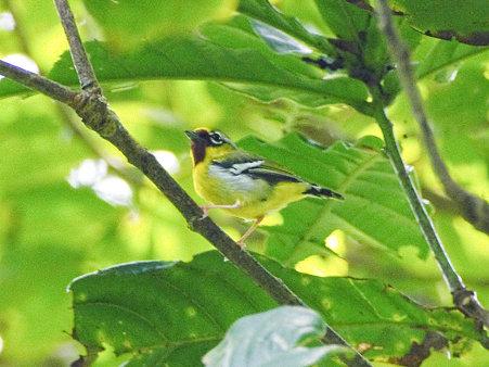 クリビタイモズチメドリ(Chestnut-fronted Shrike-babbler) IMGP121024-3_R