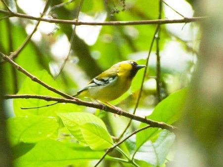 クリビタイモズチメドリ(Chestnut-fronted Shrike-babbler) IMGP123208_R