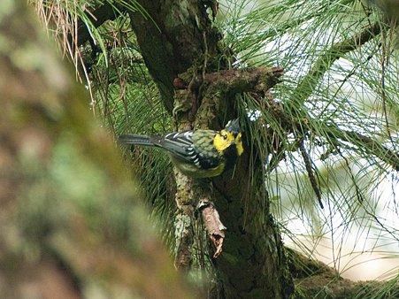 セボシカンムリガラ(Yellow-cheeked Tit) IMGP123381_R