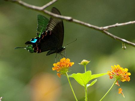 ルリモンアゲハ(Papilio Paris) IMGP126183_R
