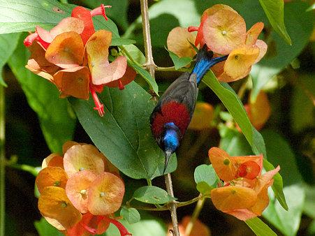 ムナグロタイヨウチョウ(Black-throated Sunbird) IMGP129258_R