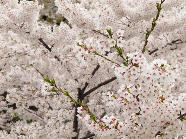 Photos: 盛岡城跡公園(岩手公園)の桜・2