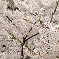 盛岡城跡公園(岩手公園)の桜・2