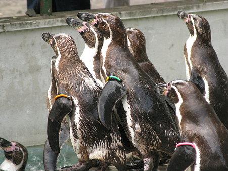 フンボルトペンギン@羽村市動物公園