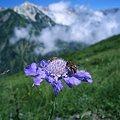 Photos: 高峰松虫草と白馬岳