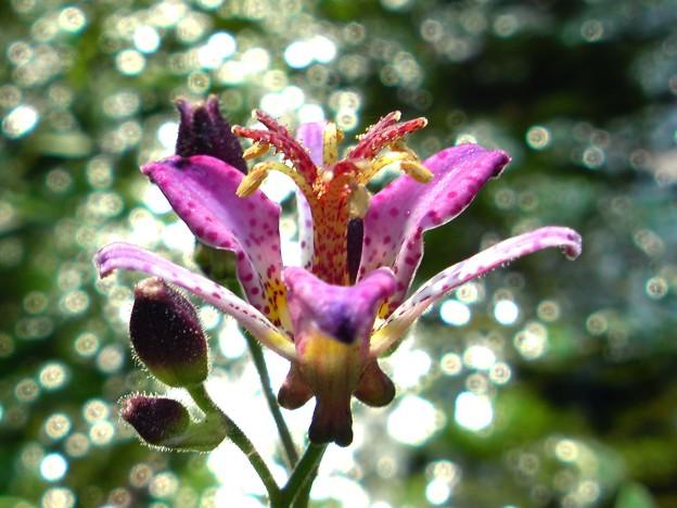 ピンクの入ったホトトギスの花