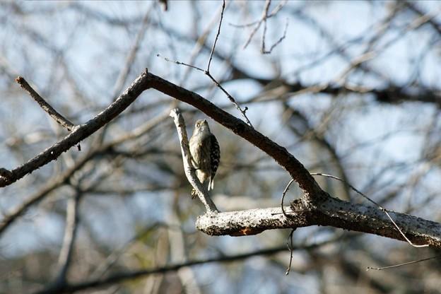 コゲラ【小啄木鳥】
