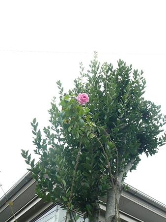 月桂樹と薔薇