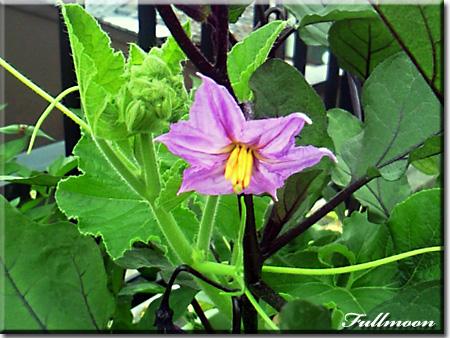 02茄子の花と南瓜