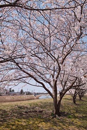 Cherry_blossom04212011dp1-06