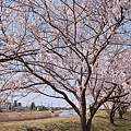 Photos: Cherry_blossom04212011dp1-06