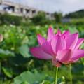 写真: 原市沼の古代蓮