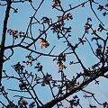 2011/1/21 上野公園の寒桜