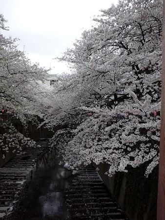 目黒川の桜2011 その2