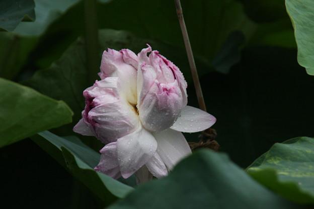 写真: 少しだけ開花  持明院 妙蓮
