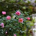写真: ミニバラが開花