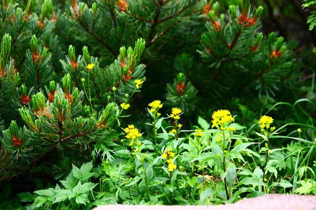 ハイマツの雄花とアキノキリンソウ 乗鞍岳 高山植物