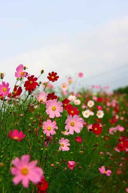 写真: コスモス畑(2)  みんな =*^-^*=にこっ♪