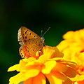 写真: オレンジに染まって  ベニシジミちゃん!