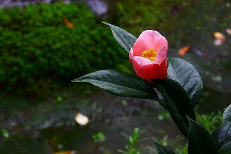 椿 西王母 開花(2)