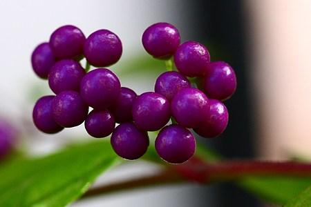 紫の宝石!  コムラサキの実