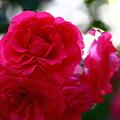 写真: 真紅のバラ