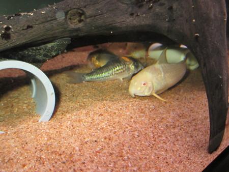 20140627 60cmコリドラス水槽のコリドラス達