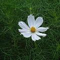 Photos: コスモス(Cosmos bipinnatus Cav.)