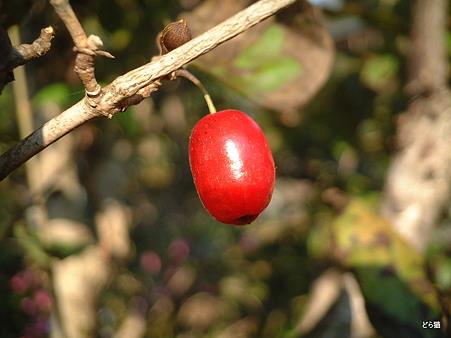 サンシュユ(Cornus officinalis Sieb. et Zucc.)