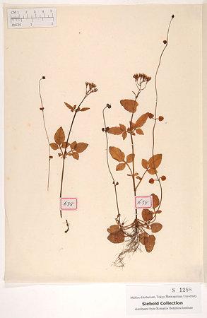 ツルカノコソウ(Valeriana flaccidissima Maxim.)