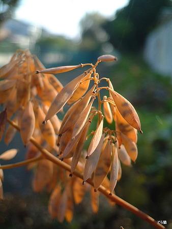 タケニグサ(Macleaya cordata (Willd.) R. Br.)