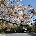 Photos: 稲毛神社の桜10