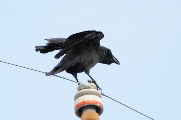 写真: 獰猛なカラスの雄叫び