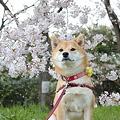 桜巡り2011(大泉緑地)