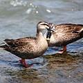 浅川の鳥たち