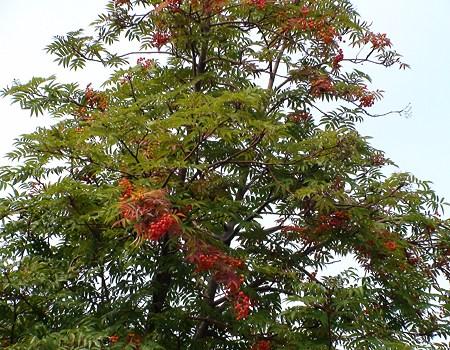 秋めく平岸の林檎とナナカマド