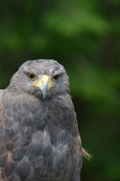 Photos: Harris's Hawk(モモアカノスリ)