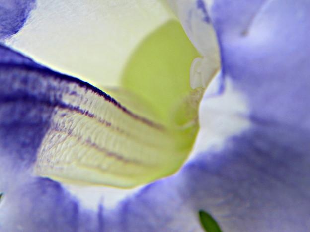 コダチヤハズカズラの花拡大