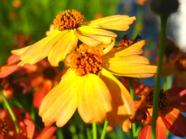 コレオプシスの花5