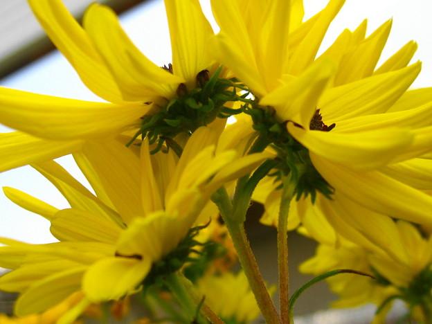 柳葉ひまわりの花3