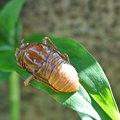 写真: 蝉の幼虫