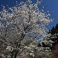 道端を彩る桜
